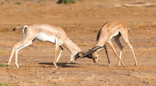 Una battaglia di due grant gazelles nella savana del kenya