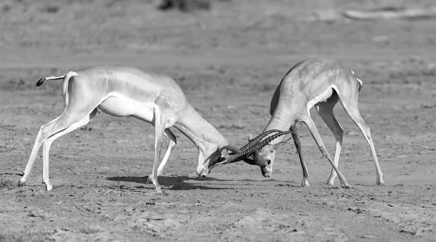 Battaglia di due grant gazelles nella savana