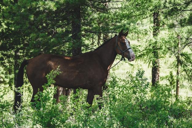 Un cavallo baio sfiora in un prato in una foresta di conifere nel distretto di ulagansky della repubblica di altai, russia