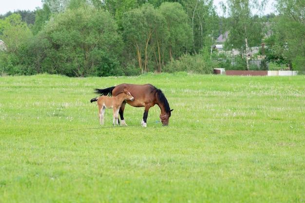 Un cavallo baio con un puledro in un campo su un pascolo. foto di alta qualità