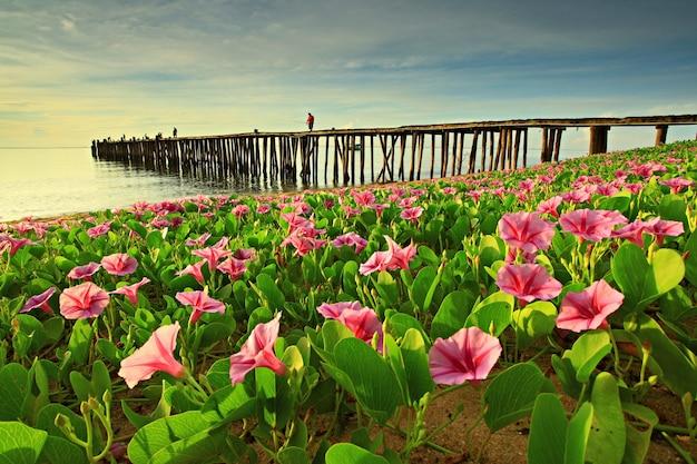 La gloria di mattina della spiaggia sboccia al mattino a prachuap khiri khan, thailandia.