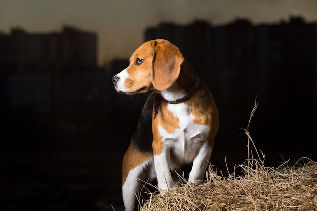 Cane beagle sullo sfondo di un bellissimo cielo al tramonto