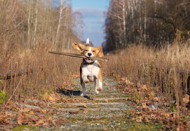 Cane da lepre che corre e gioca con un bastone nella foresta di autunno