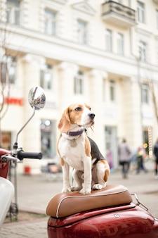 Il cane beagle si siede su un ciclomotore retrò sullo sfondo di una strada cittadina e guarda lontano