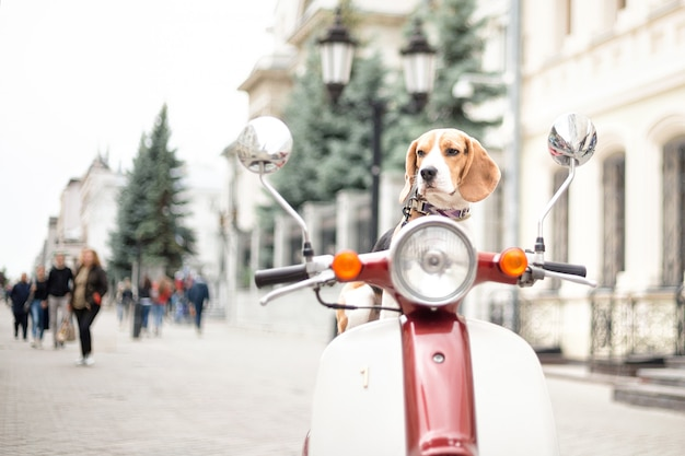 Il cane beagle si siede su un ciclomotore retrò sullo sfondo di una strada cittadina