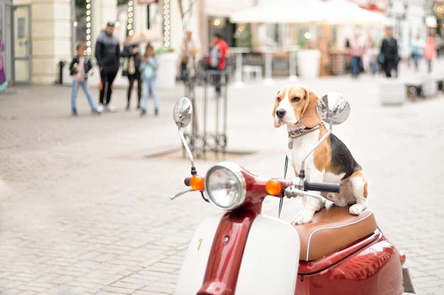 Il cane beagle si siede su uno scooter retrò sullo sfondo di una strada cittadina