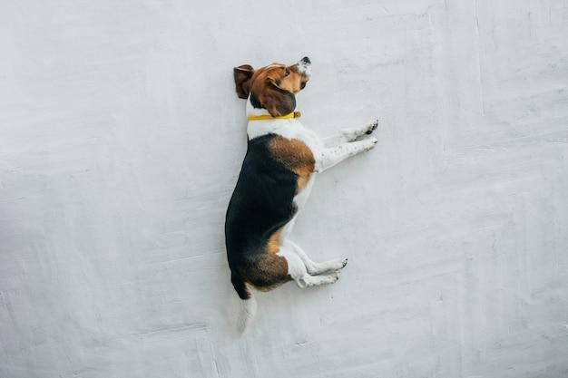 Cane da lepre con un collare giallo che dorme su un pavimento di legno bianco. cane assonnato che dorme e sogna. vista dall'alto del cane tricolore.