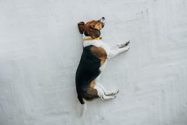 Cane beagle con un collare giallo che dorme su un pavimento di legno bianco vista dall'alto del cane tricolore