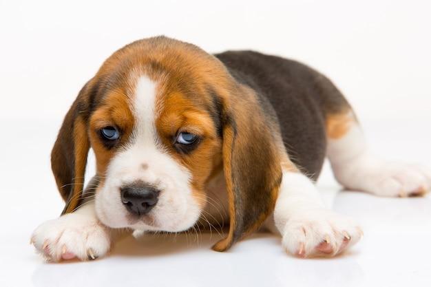 Cucciolo di beagle in piedi sullo sfondo bianco