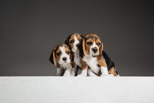 I cuccioli di beagle tricolore sono in posa. simpatici cagnolini bianco-nero-nero o animali domestici che giocano sul muro grigio. guarda attento e giocoso. concetto di movimento, movimento, azione. spazio negativo.