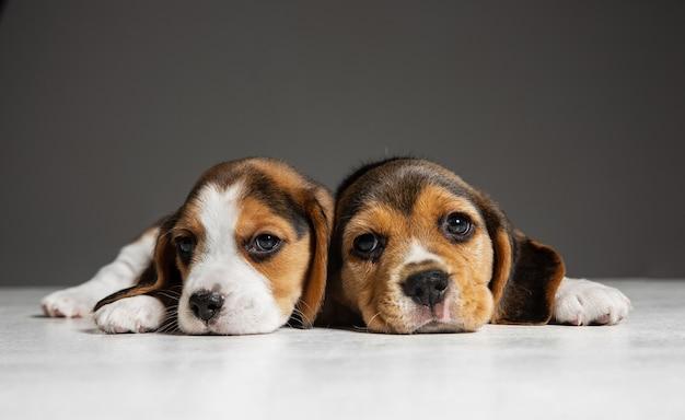 I cuccioli tricolore di beagle sono in posa. simpatici cagnolini o animali domestici bianco-braun-nero che giocano sul muro grigio. guarda attento e giocoso. concetto di movimento, movimento, azione. spazio negativo.
