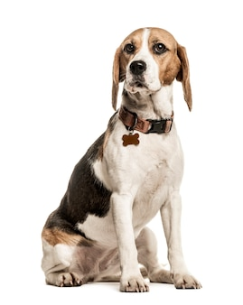 Beagle con collare seduto isolato
