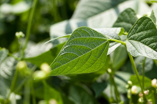 Un fagiolo che fiorisce durante la crescita è un campo agricolo con una pianta di fagiolo in estate