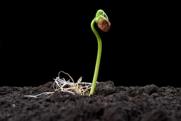 Germogli di fagiolo. nuovo concetto di vita. piantine verdi compaiono dal terreno in primavera. avvicinamento. sfondo nero