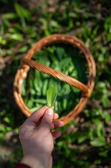 Bear raccolta dell'aglio da parte dell'uomo nella foresta nella soleggiata primavera Foto Premium