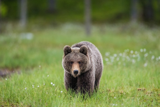 Bear sta andando direttamente dal fotografo