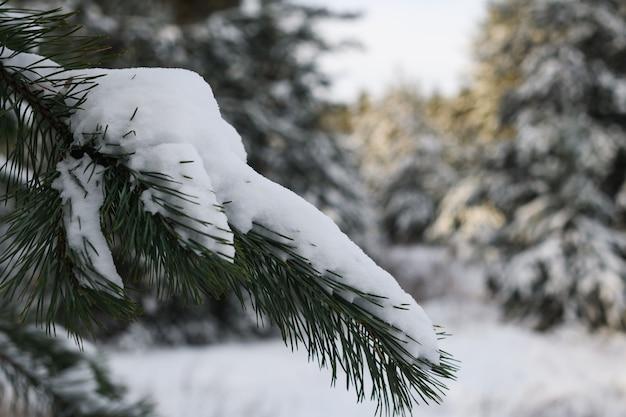 Bellissimo parco forestale invernale con un sacco di neve bianca su terra e rami di pino abete evergeen, sfondo natura fredda