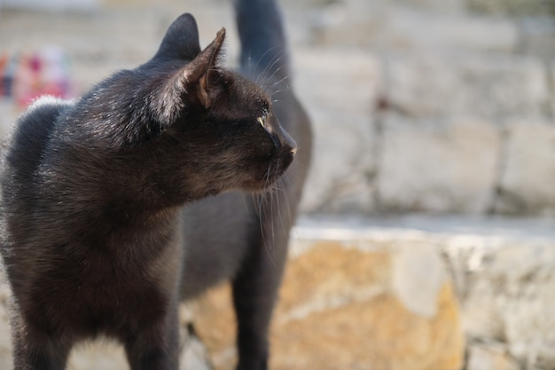 Bellissimo gatto maschio nero adulto, predatore di strada con orecchio ferito, copia dello spazio