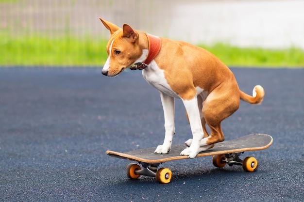 Bellissimo basenji africano, cane pattinatore di razza congo, simpatico cucciolo giocoso pattinaggio, cavalcando