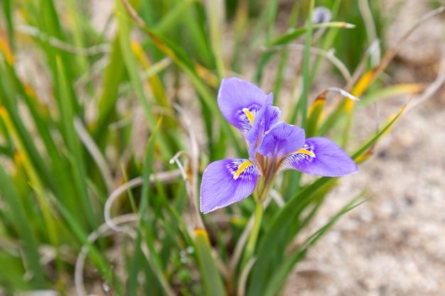 Bellissimo fiore di iris algerino.