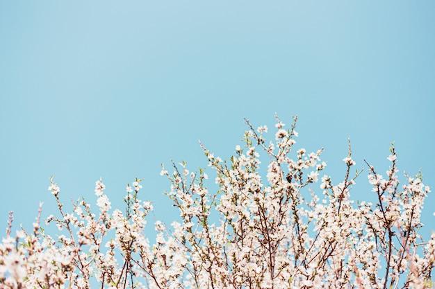 La bella mandorla fiorisce nell'albero con cielo blu dietro in primavera