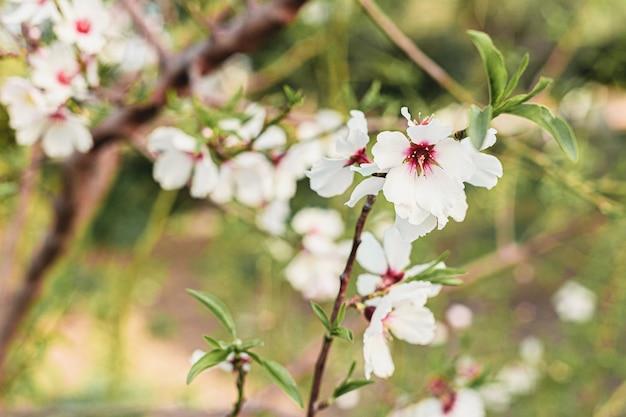 Bei fiori della mandorla nell'albero con fondo verde delle foglie e dei rami in primavera