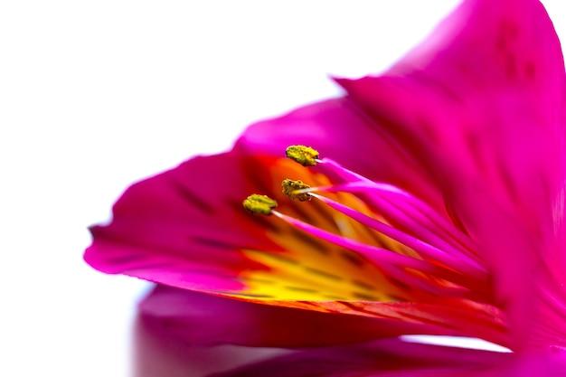 Bellissimi petali di fiori di alstroemeria, pistilli e stami, giglio peruviano