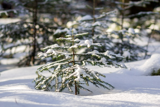 Bellissimo paesaggio di montagna invernale da favola incredibile. piccoli abeti verdi ricoperti di neve e gelo in una fredda giornata di sole sullo sfondo dello spazio copia della foresta di pini. la bellezza del concetto di natura.