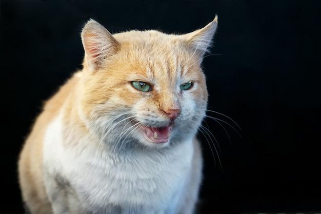 Il bello gatto arrabbiato dello zenzero scopre le sue zanne all'aperto