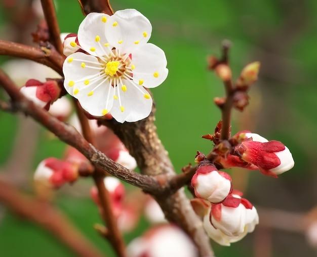 Bellissimo fiore di albicocca in fiore
