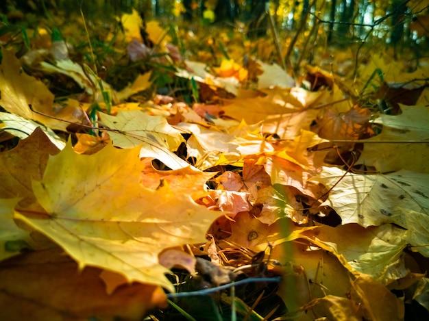 Le foglie di acero gialle cadute del bellissimo sfondo autunnale giacciono a terra alla luce del sole come un tappeto