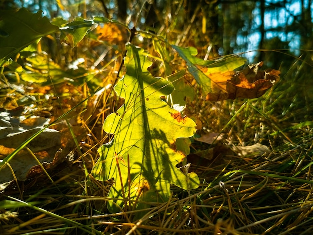 Bellissimo sfondo autunnale piccola quercia cresce tra i raggi del sole nella foresta autunnale