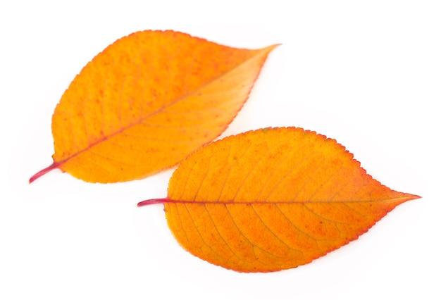 Bella foglia d'autunno, isolato su sfondo bianco.