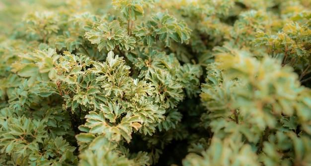 Bello cespuglio nel parco, arbusto decorativo delle foglie di autunno della pianta del primo piano