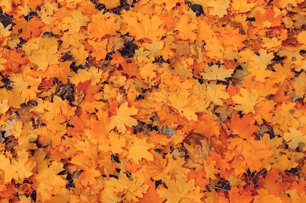 Bei fogli di autunno del primo piano dell'acero giallo.