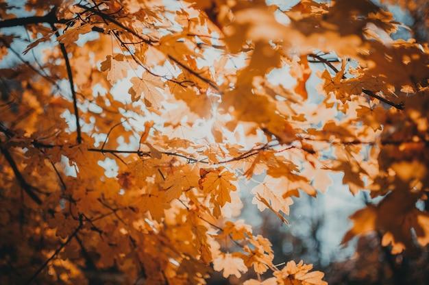 Bei fogli di autunno del primo piano della quercia gialla.