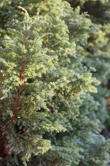 Bellissimo sfondo di rami di conifere