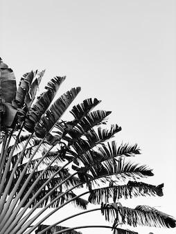 Bellissimo albero di banane. minimal naturale nei colori bianco e nero