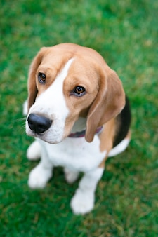 Bellissimi cani beagle