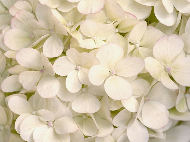 Bella hortensia beige da vicino. sfondo naturale artistico.