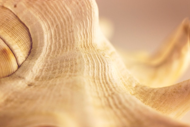 Bella conchiglia beige su fondo bianco. fotografia artistica. messa a fuoco selettiva. macro.