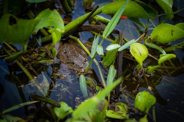 Bella grande rana, nascosta nella palude e guardando.