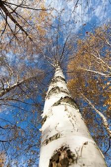Bellissimo fogliame di betulla che ha cambiato colore nella stagione autunnale, primo piano sulla natura degli alberi