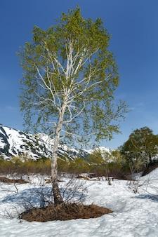 Bella betulla sulla radura circondata da neve sullo sfondo del cielo azzurro con tempo soleggiato