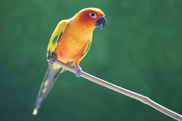 Bellissimo uccello, parrocchetto sun conure (aratinga solstitialis) su sfondo verde