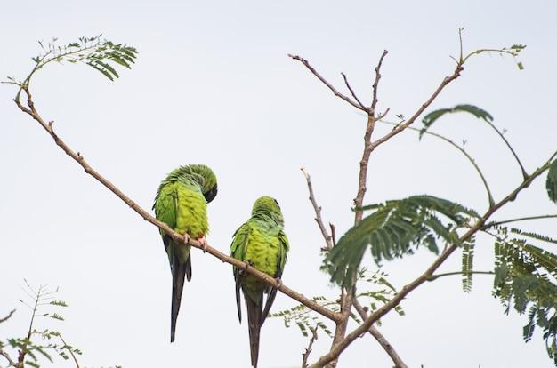 Bellissimi uccelli nanday parakeet in un albero nel pantanal brasiliano