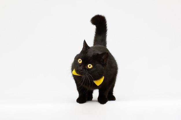 Bellissimo gatto nero con fiocco giallo alla ricerca di qualcosa si pone su uno sfondo bianco