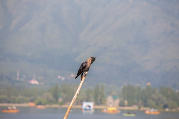 Bellissimo corvo nero su un bastone di legno vicino al lago di srinagar, india