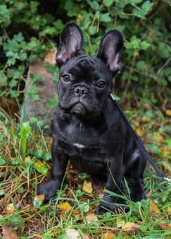 Cucciolo di bulldog francese nero bello si chiuda su priorità bassa di autunno della natura