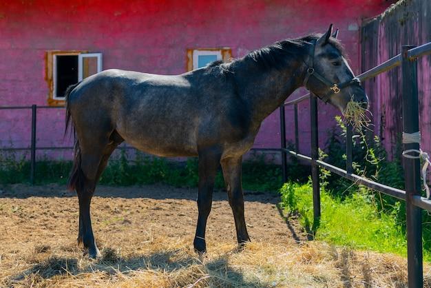 Un bel cavallo nero. passeggiata a cavallo in un paddock in una fattoria collettiva.